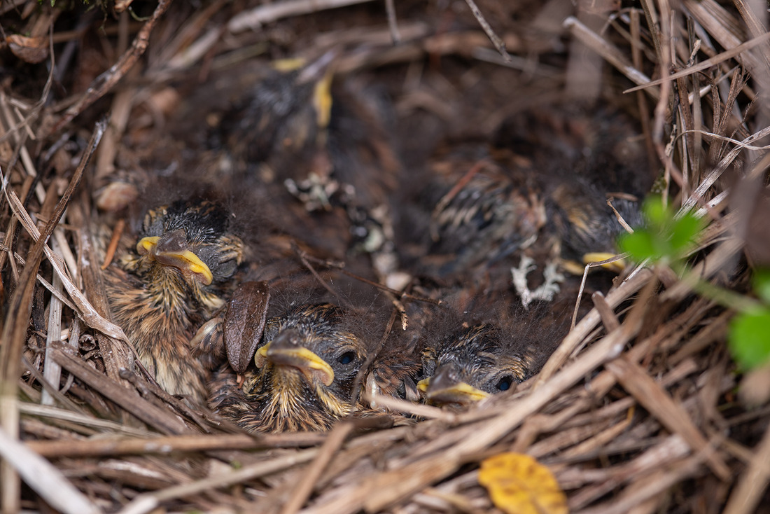 Птенцы овсянки-ремеза